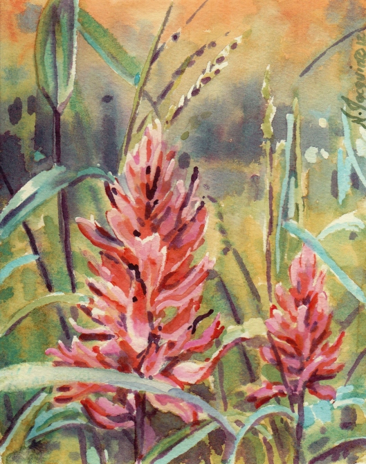 Red Indian Paintbrush watercolour N.Jacquin copyright 2012 (2)